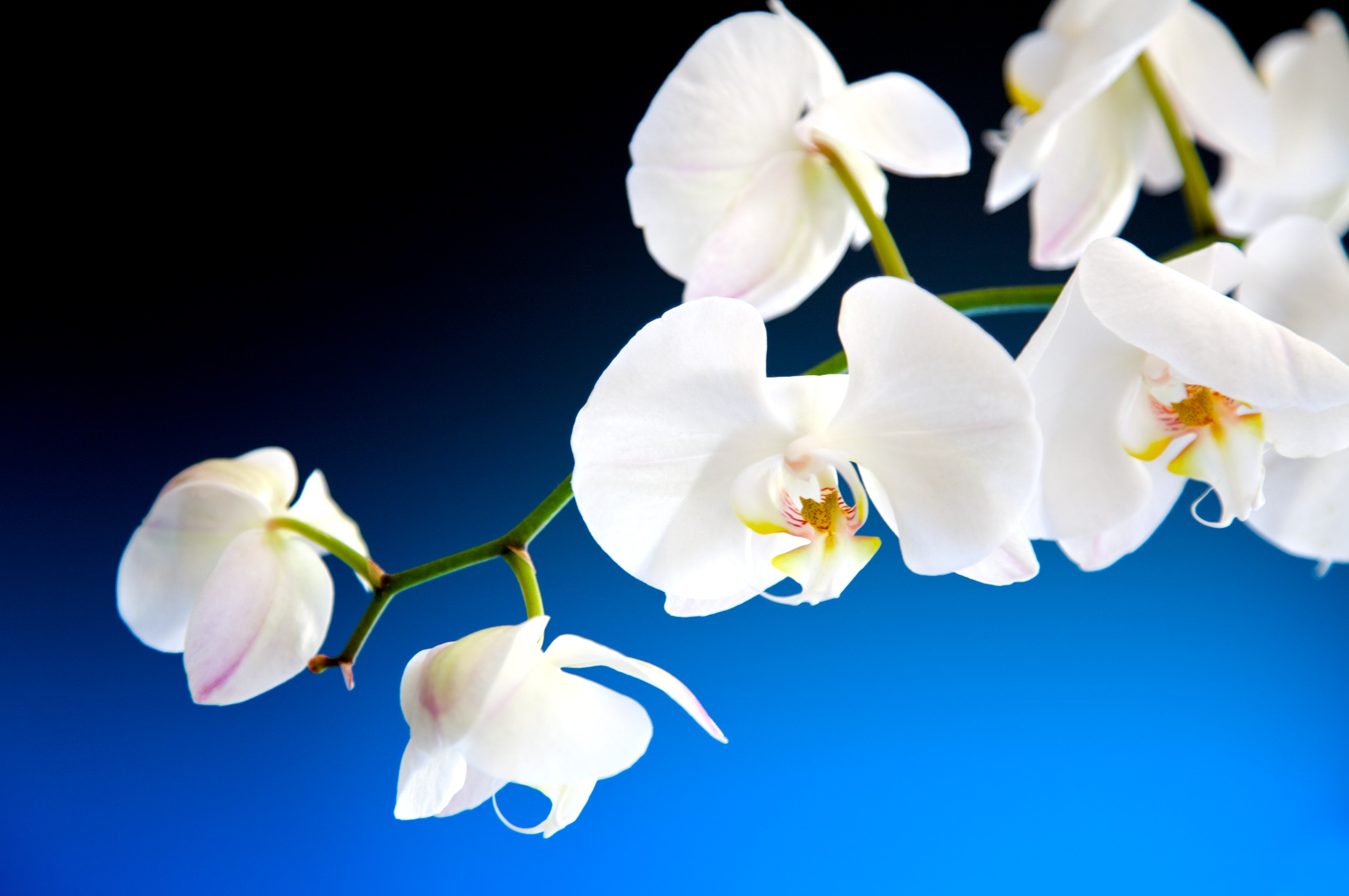 Witte orchidee op een blauw met zwarte achtergrond