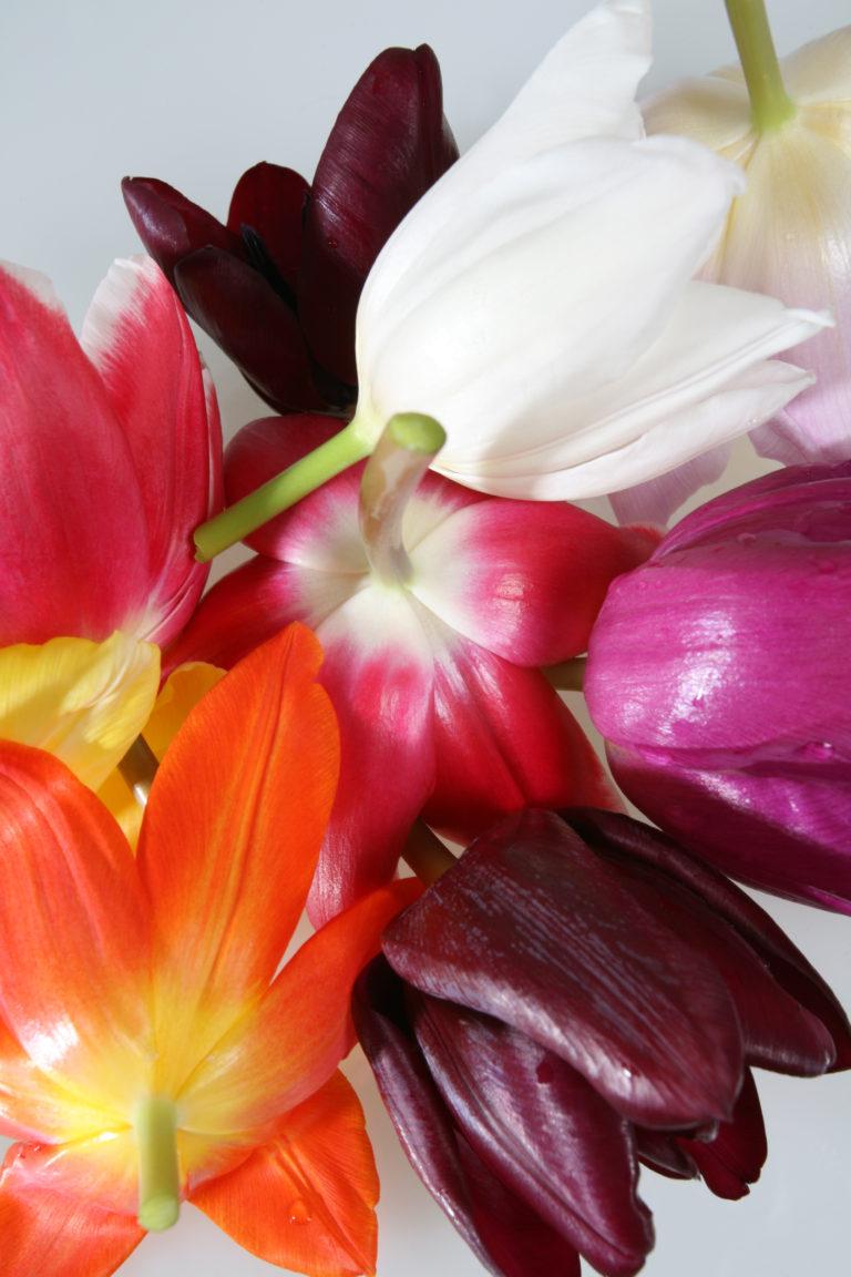 Gekleurde Hollandse tulpen