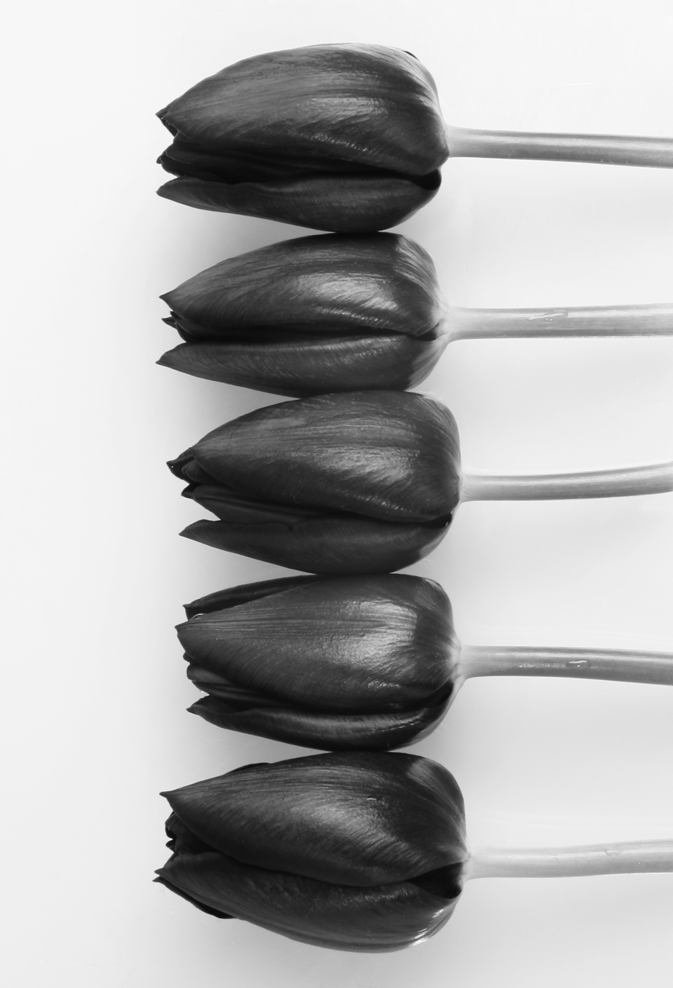 zwarte Hollandse tulpen